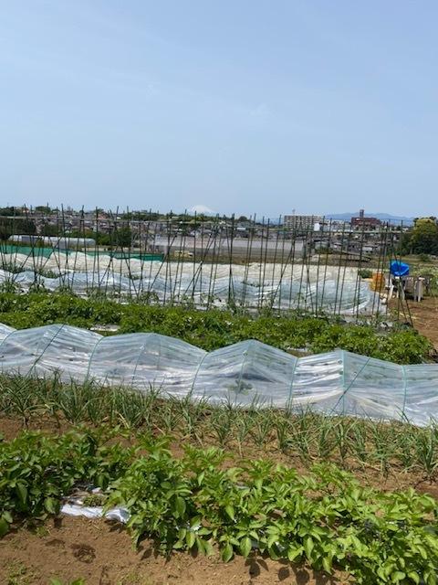 トマトの脇芽摘み 追加バジリコ&人参の播種_c0222448_14313349.jpg