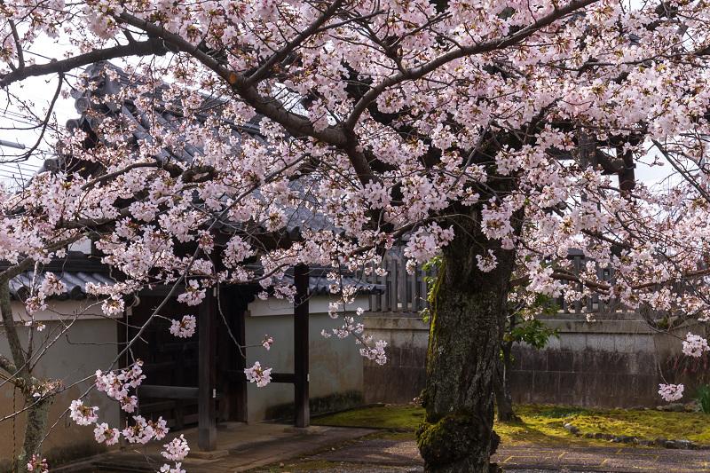 2021桜咲く京都 上品蓮台寺の桜たち_f0155048_19205316.jpg