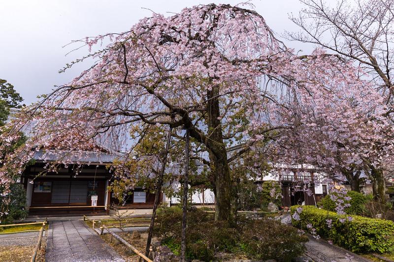 2021桜咲く京都 上品蓮台寺の桜たち_f0155048_19223218.jpg
