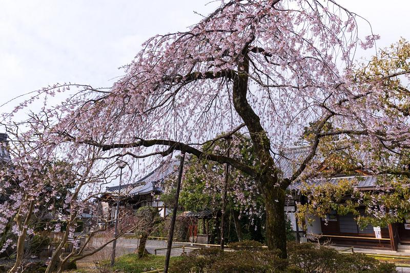 2021桜咲く京都 上品蓮台寺の桜たち_f0155048_19224278.jpg