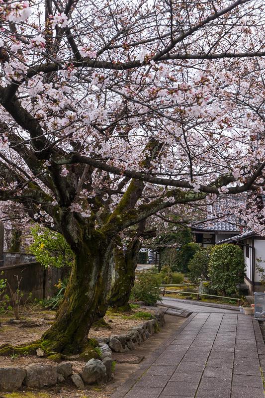 2021桜咲く京都 上品蓮台寺の桜たち_f0155048_19230594.jpg