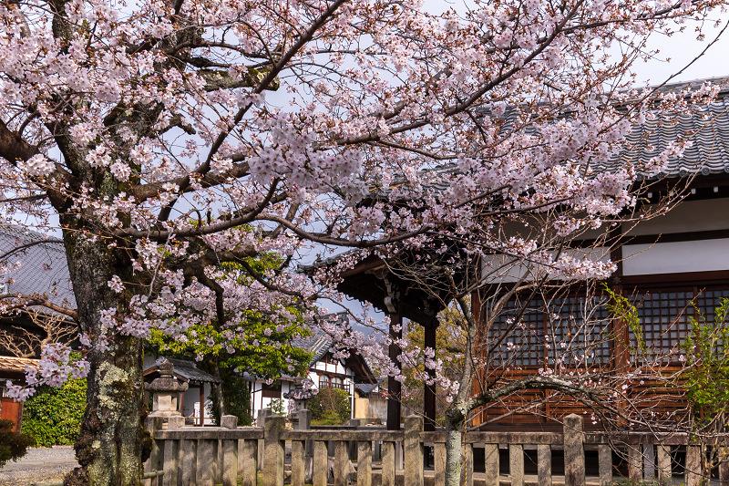 2021桜咲く京都 上品蓮台寺の桜たち_f0155048_19233378.jpg