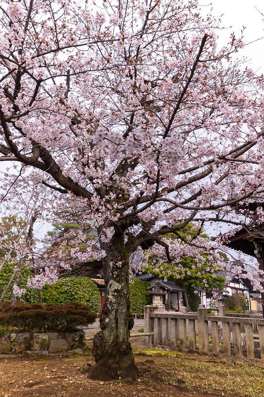 2021桜咲く京都 上品蓮台寺の桜たち_f0155048_19233662.jpg