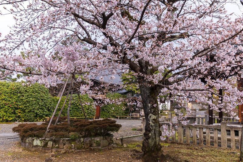 2021桜咲く京都 上品蓮台寺の桜たち_f0155048_19243170.jpg