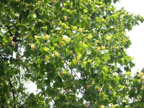 木にチューリップの花が咲いた?_d0173961_14594899.jpg