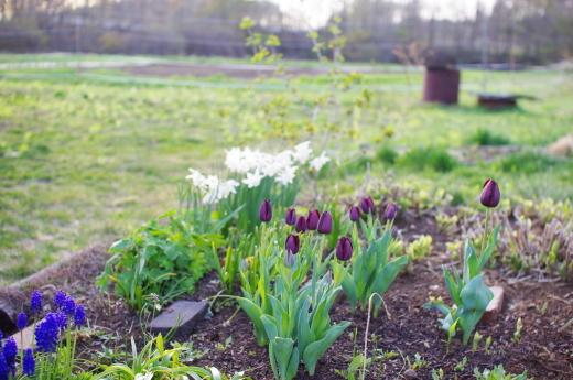 ゴールデンウィークにチューリップが咲いた。_c0110869_18534176.jpg