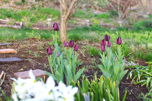 ゴールデンウィークにチューリップが咲いた。_c0110869_18535816.jpg