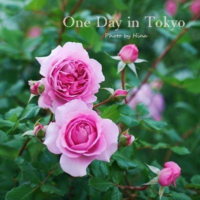 ローズガーデンは花盛り: One Day in Tokyo_f0245680_10505032.jpg
