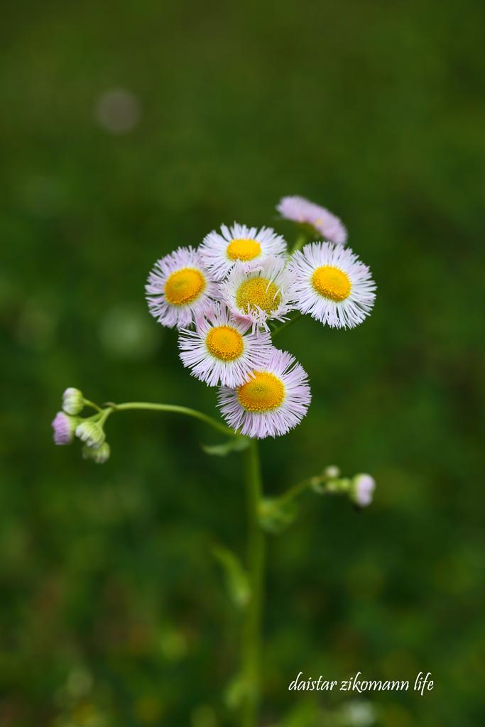 ハルジオン (春紫苑)_d0361602_09024710.jpg