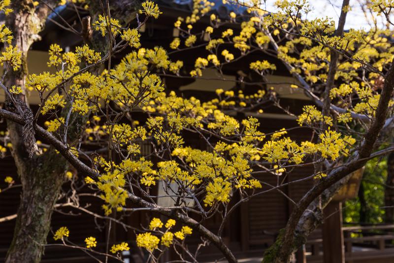 初春の花咲く真如堂_f0155048_20481570.jpg