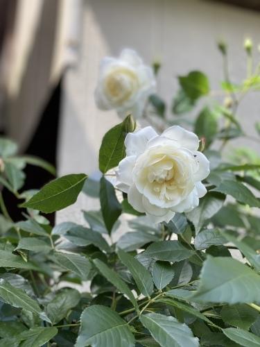 ツルアイスバーグが咲きはじめました。_e0366161_20551657.jpeg