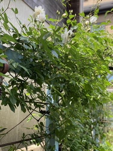 ツルアイスバーグが咲きはじめました。_e0366161_20553637.jpeg