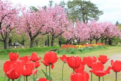 弘前公園桜_2021.05.05撮影_d0131668_15071230.jpg