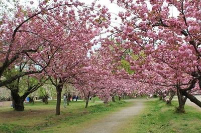 弘前公園桜_2021.05.05撮影_d0131668_15091447.jpg