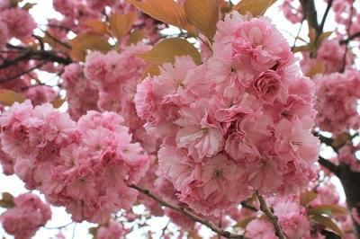 弘前公園桜_2021.05.05撮影_d0131668_15095175.jpg