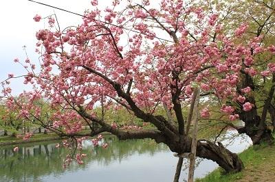 弘前公園桜_2021.05.05撮影_d0131668_15113978.jpg