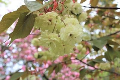 弘前公園桜_2021.05.05撮影_d0131668_15155400.jpg