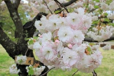 弘前公園桜_2021.05.05撮影_d0131668_15162296.jpg