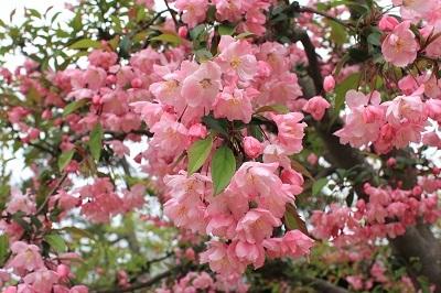 弘前公園桜_2021.05.05撮影_d0131668_15172690.jpg