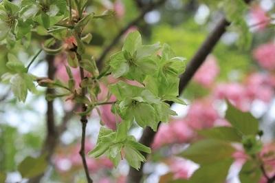 弘前公園桜_2021.05.05撮影_d0131668_15182684.jpg