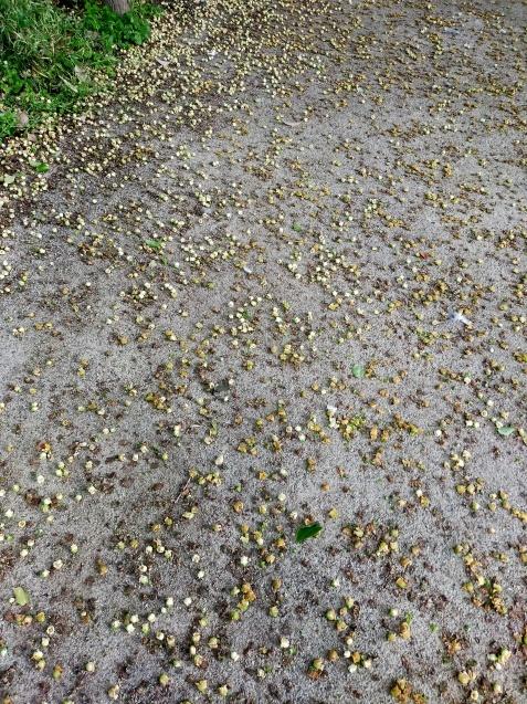 柿の花かな?_c0162773_19120339.jpg