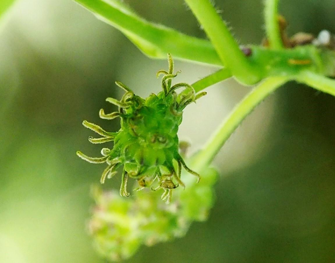 雄花と雌花とその間(2) ヤマグワとマグワ_d0163696_14024302.jpg