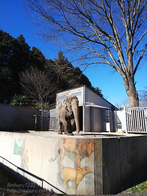 2021.1.2 宇都宮動物園☆象の宮子ちゃん【Elephant】_f0250322_19035877.jpg