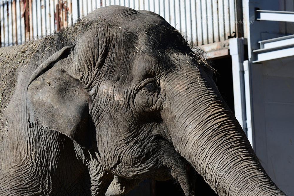 2021.1.2 宇都宮動物園☆象の宮子ちゃん【Elephant】_f0250322_19041512.jpg