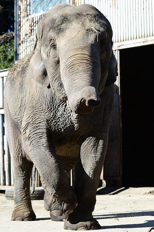 2021.1.2 宇都宮動物園☆象の宮子ちゃん【Elephant】_f0250322_19042513.jpg