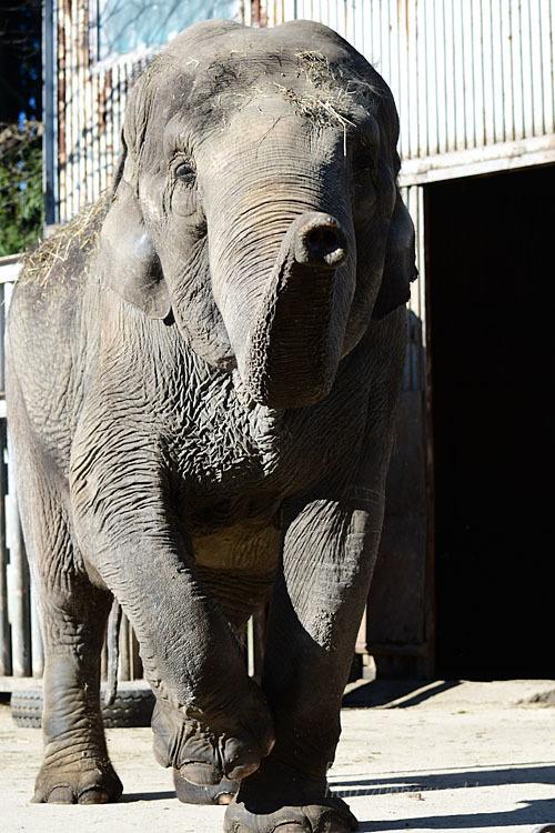 2021.1.2 宇都宮動物園☆象の宮子ちゃん【Elephant】_f0250322_19043391.jpg