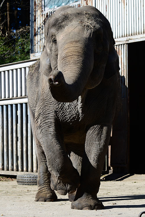 2021.1.2 宇都宮動物園☆象の宮子ちゃん【Elephant】_f0250322_19050719.jpg