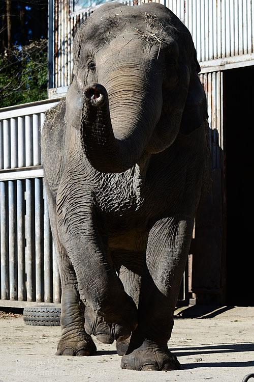 2021.1.2 宇都宮動物園☆象の宮子ちゃん【Elephant】_f0250322_19051669.jpg