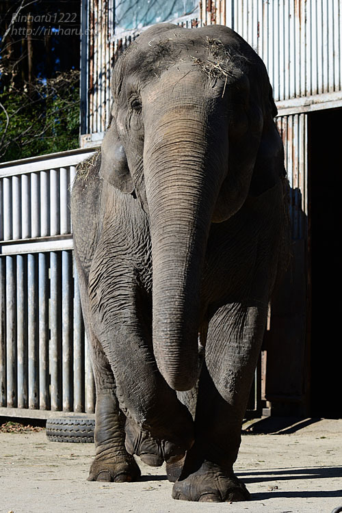 2021.1.2 宇都宮動物園☆象の宮子ちゃん【Elephant】_f0250322_19052520.jpg