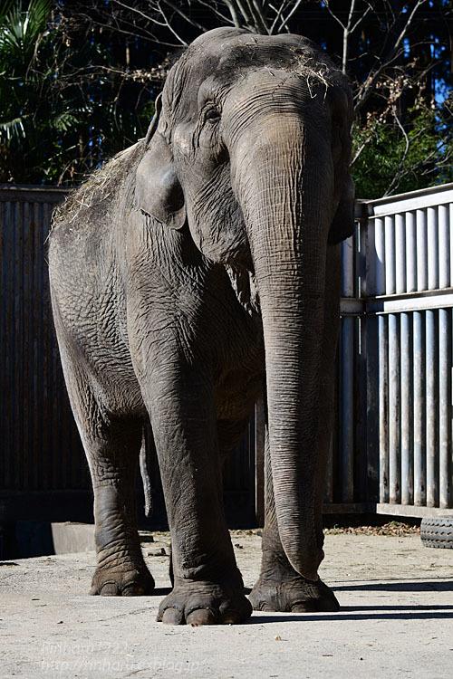 2021.1.2 宇都宮動物園☆象の宮子ちゃん【Elephant】_f0250322_19053633.jpg