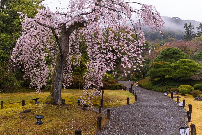 2021桜咲く京都 雨の知恩院・友禅苑にて_f0155048_23394071.jpg