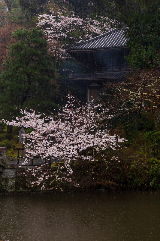 2021桜咲く京都 雨の知恩院・友禅苑にて_f0155048_23420555.jpg