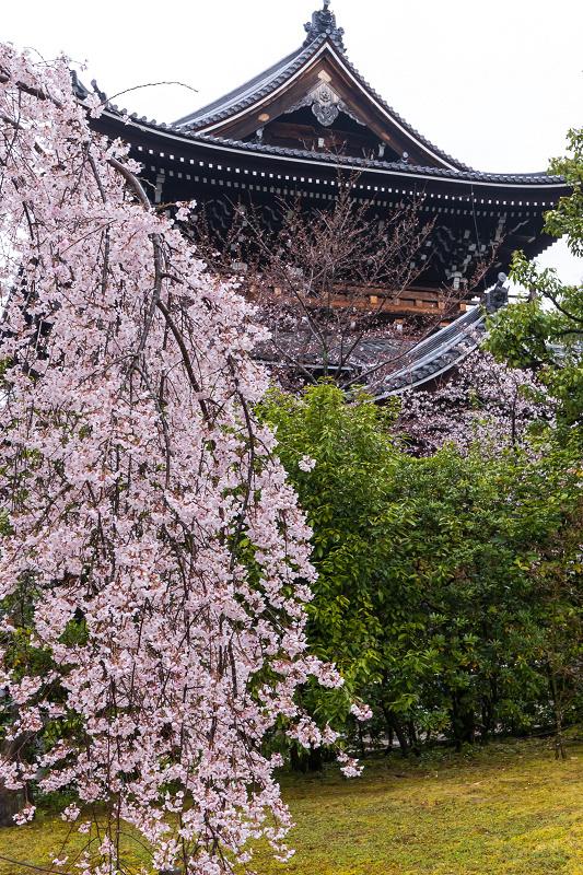 2021桜咲く京都 雨の知恩院・友禅苑にて_f0155048_23425296.jpg