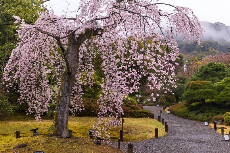 2021桜咲く京都 雨の知恩院・友禅苑にて_f0155048_23443553.jpg