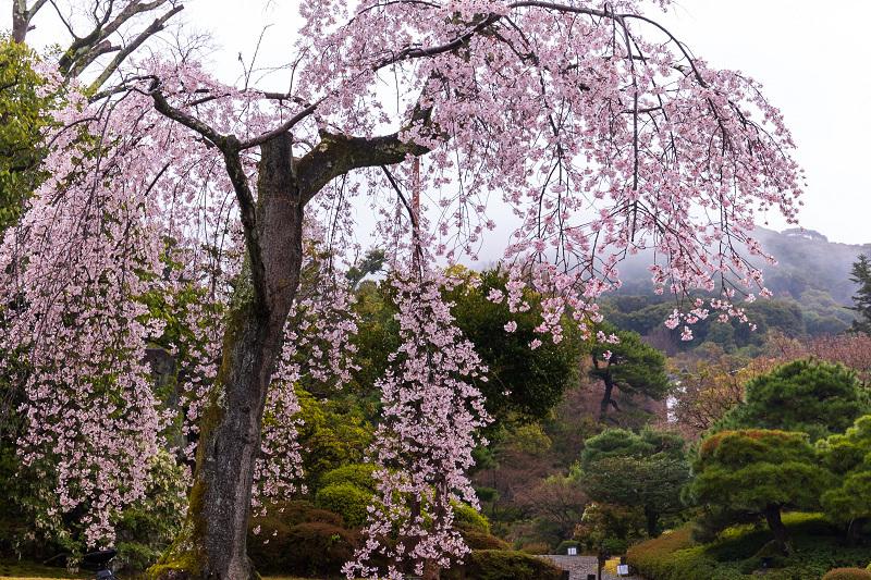 2021桜咲く京都 雨の知恩院・友禅苑にて_f0155048_23445287.jpg