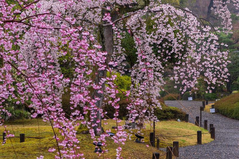 2021桜咲く京都 雨の知恩院・友禅苑にて_f0155048_23453460.jpg