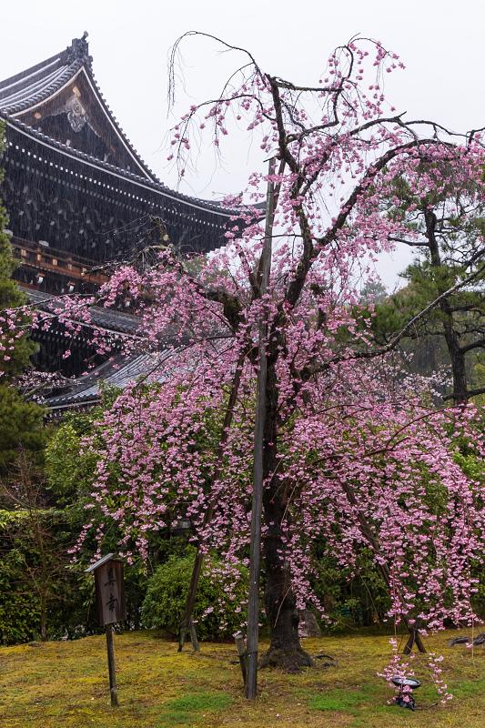 2021桜咲く京都 雨の知恩院・友禅苑にて_f0155048_23460030.jpg