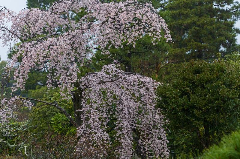 2021桜咲く京都 雨の知恩院・友禅苑にて_f0155048_23462463.jpg