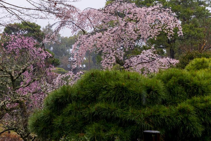 2021桜咲く京都 雨の知恩院・友禅苑にて_f0155048_23462831.jpg