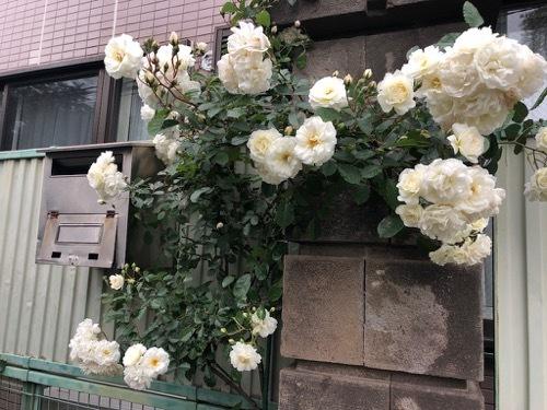 2021年駒場小学校・開花状況_a0094959_20183331.jpg