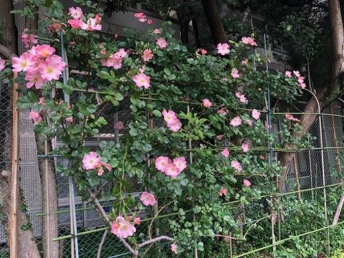2121年・バラの小径・開花状況_a0094959_20250659.jpg