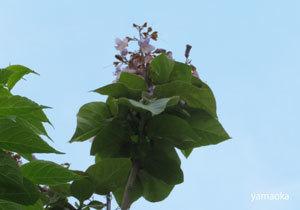 桐の花の咲く季節に。。。。_f0071480_19015298.jpg