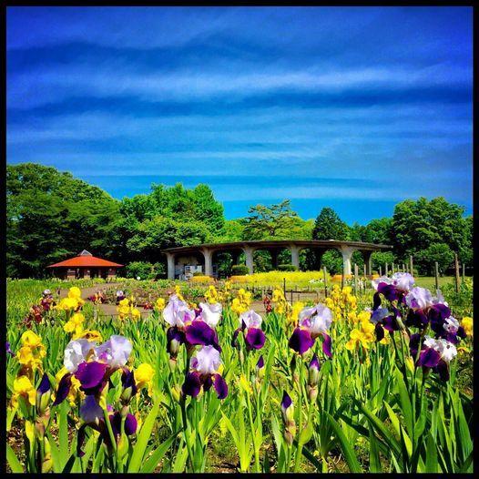 5月6日(木)いずれ菖蒲か杜若_c0026089_20285936.jpg