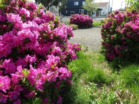 つつじ咲き誇り、立夏。_f0281398_20405312.jpg