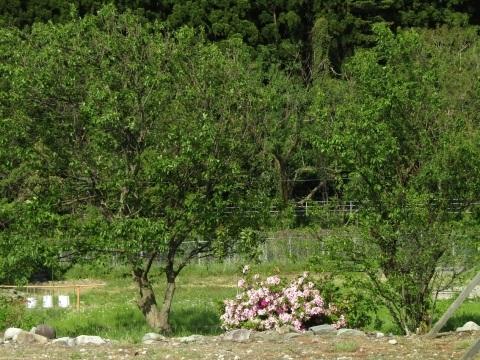 つつじ咲き誇り、立夏。_f0281398_20452715.jpg