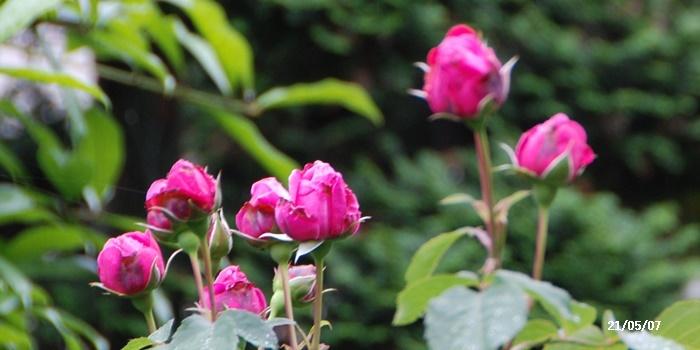 母の日、庭の花、ワクチン予約、N叔母_c0051105_15481833.jpg
